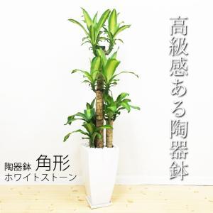 幸福の木 陶器鉢 角型 観葉植物 マッサン 送料無料 中型 大型|pg869