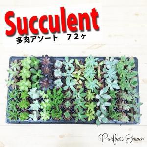 多肉植物 72個入り 24種類 アソートセット ミニ鉢植え 送料無料|pg869