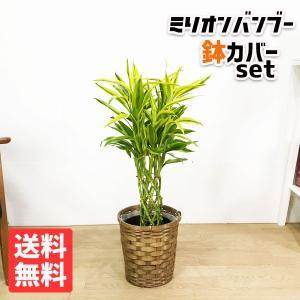 ミリオンバンブー 鉢カバー付  観葉植物 ラッキーバンブー 幸運の竹 ドラセナ 中型|pg869