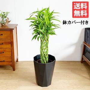 ミリオンバンブー 8号 スタイリッシュな黒色鉢カバー付 ドラセナ 観葉植物 送料無料 大型|pg869