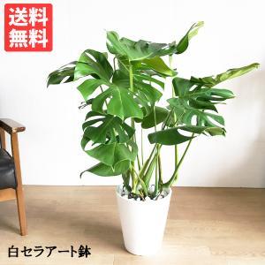 モンステラ  観葉植物 ホワイトセラアート鉢 送料無料 大サイズ 大型