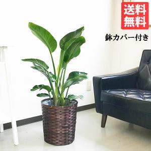 オーガスタ 鉢カバー付  観葉植物 送料無料 中〜大型サイズ|pg869