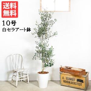送料無料 オリーブの木 ホワイトセラアート鉢 大型 大鉢 10号鉢 大きい オリーブ 観葉植物|pg869