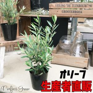 限定特価商品 オリーブ  チプレッシーノ  オリーブの木 観葉植物 即日出荷|pg869