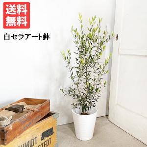 オリーブ ホワイトセラアート鉢 送料無料 オリーブの木 観葉植物|pg869