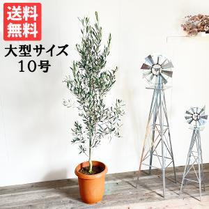 送料無料 オリーブの木 大型 大鉢 10号鉢 大きい オリーブ 観葉植物|pg869
