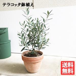 オリーブ イタリア製テラコッタ鉢植え オリーブの木 観葉植物 自宅用 ギフト 送料無料|pg869