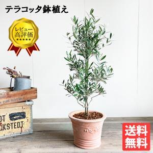 送料無料 オリーブ テラコッタ鉢植え 素焼き鉢 送料無料 オリーブの木 観葉植物 庭木 鉢植え|pg869