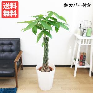 パキラ 8号 スタイリッシュな白色鉢カバー 観葉植物 送料無料|pg869