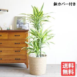 ドラセナ ワーネッキー  レモンライム  鉢カバー付  観葉植物 送料無料 中型〜大型|pg869