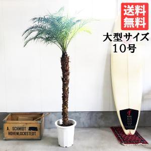 送料無料 フェニックス ロベレニー 大サイズ 大鉢 10号鉢 観葉植物 ヤシ ヤシの木 大型|pg869
