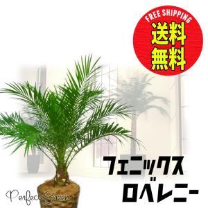 フェニックス ロベレニー ヤシ 80cm〜 鉢カバー付 観葉植物|pg869