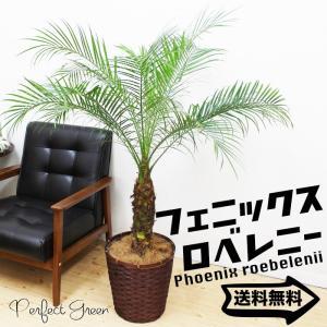 フェニックス ロベレニー ヤシ 鉢カバー付 観葉植物 送料無料 ヤシの木|pg869