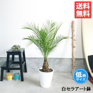 フェニックス ロベレニー 8号鉢 低めサイズ 状態良し ヤシ 送料無料 観葉植物 ヤシの木|pg869
