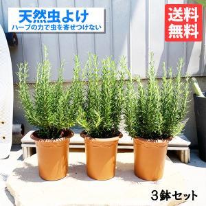 ローズマリー 3鉢セット 立性 鉢植え 観葉植物 苗 苗木 ハーブ 3株 送料無料|pg869