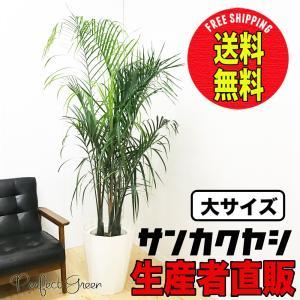 送料無料 三角ヤシ ミエミツヤシ ヤシの木 大鉢 10号鉢 観葉植物 大型|pg869