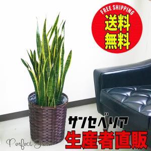 サンスベリア 鉢カバー付 観葉植物 サンセベリア 送料無料 中型〜大型|pg869