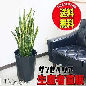 サンスベリア スタイリッシュな黒色鉢カバー 観葉植物 サンセベリア 送料無料 中型〜大型|pg869
