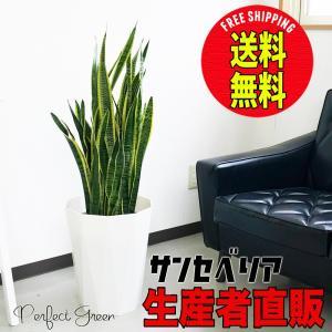 サンスベリア スタイリッシュな白色鉢カバー 観葉植物 サンセベリア 送料無料 中型〜大型|pg869