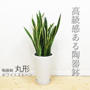 サンスベリア 陶器鉢 丸型 観葉植物 虎の尾 送料無料 中型 大型|pg869