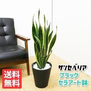 サンセベリア 観葉植物 ブラックセラアート鉢 サンスベリア 送料無料|pg869
