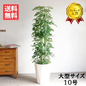 送料無料 シェフレラ ホンコンカポック 大サイズ 大鉢 10号鉢 観葉植物 大型