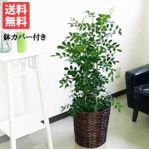 シルクジャスミン 鉢カバー付 送料無料  ゲッキツ 観葉植物 中型〜大型|pg869