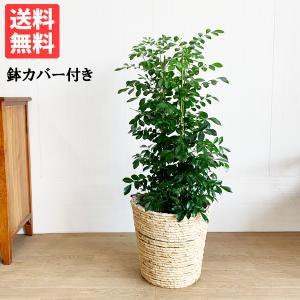 シルクジャスミン ナチュラル鉢カバー付 送料無料 ゲッキツ 観葉植物 中型〜大型|pg869