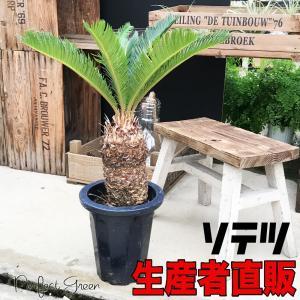蘇鉄 ソテツ 良品 庭木 地植え 鉢植え 観葉植物 縁起の良い植物 即日出荷 送料無料|pg869