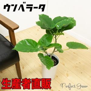 ウンベラータ 良品お届け ゴムの木 6号鉢 鉢植え 観葉植物|pg869
