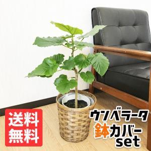 フィカス ウンベラータ ゴムの木 鉢カバー付 観葉植物 pg869