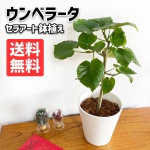 フィカス ウンベラータ ホワイトセラアート鉢植え 送料無料 観葉植物 中型 ゴムの木 ウランベータ