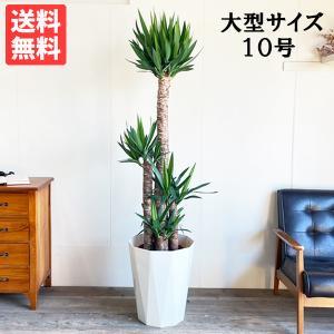 送料無料 ユッカ エレファンティペス 大サイズ 大鉢 10号鉢 観葉植物 大型|pg869