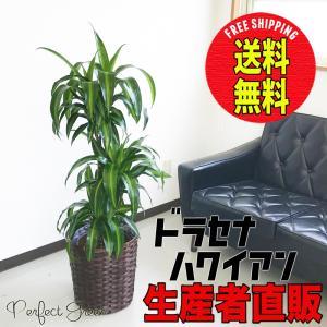 ドラセナ ハワイアン サンシャイン 鉢カバー付き 観葉植物 送料無料 中型〜大型|pg869