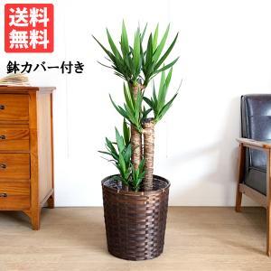 ユッカ 青年の樹 ドラセナ 鉢カバー付  観葉植物 送料無料 中型〜大型|pg869