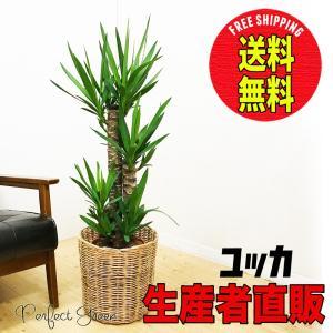 ユッカ 青年の樹 ドラセナ ナチュラル鉢カバー付  観葉植物 送料無料|pg869