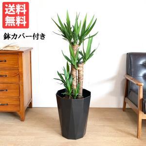 ユッカ 8号 スタイリッシュな黒色鉢カバー ドラセナ 観葉植物 送料無料|pg869