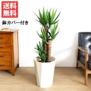 ユッカ 8号 スタイリッシュな白色鉢カバー ドラセナ 観葉植物 送料無料|pg869