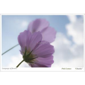 コスモスピンク(花言葉付きポストカード) photoroom-g