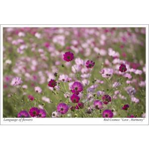 コスモス畑(花言葉付きポストカード) photoroom-g