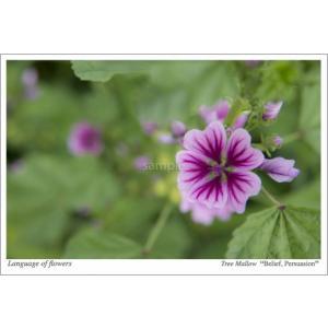 ゼニアオイ(花言葉付きポストカード) photoroom-g