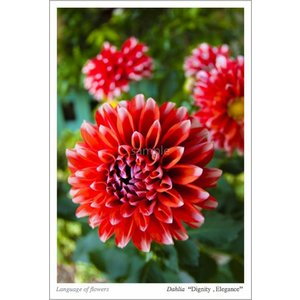 ダリア(花言葉付きポストカード) photoroom-g