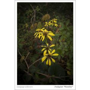 ツワブキの花言葉ポストカード photoroom-g