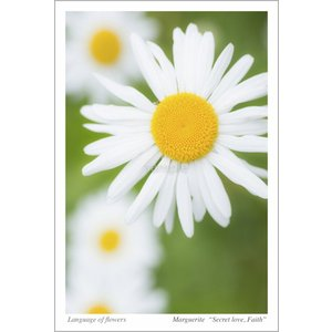 マーガレット(花言葉付きポストカード) photoroom-g