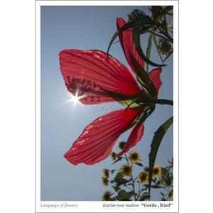 モミジアオイ(花言葉付きポストカード) photoroom-g