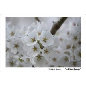 桜アップ(花言葉付きポストカード) photoroom-g