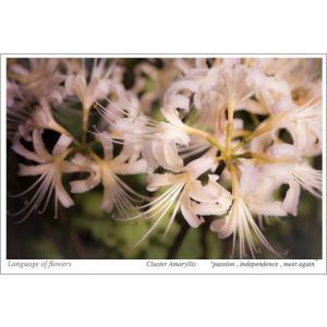 白い彼岸花(花言葉付きポストカード) photoroom-g