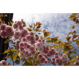 ボタン桜ポストカード|photoroom-g