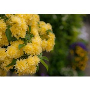 黄色いバラ・つる薔薇ポストカード|photoroom-g