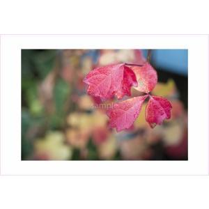 ポストカード・真っ赤なツタ|photoroom-g